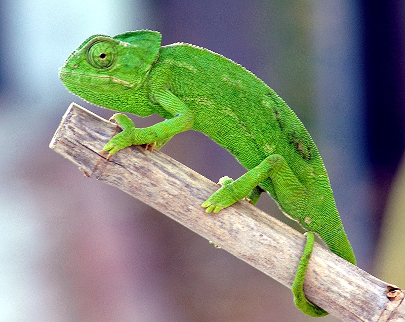 Camaleón. Reptil protegido
